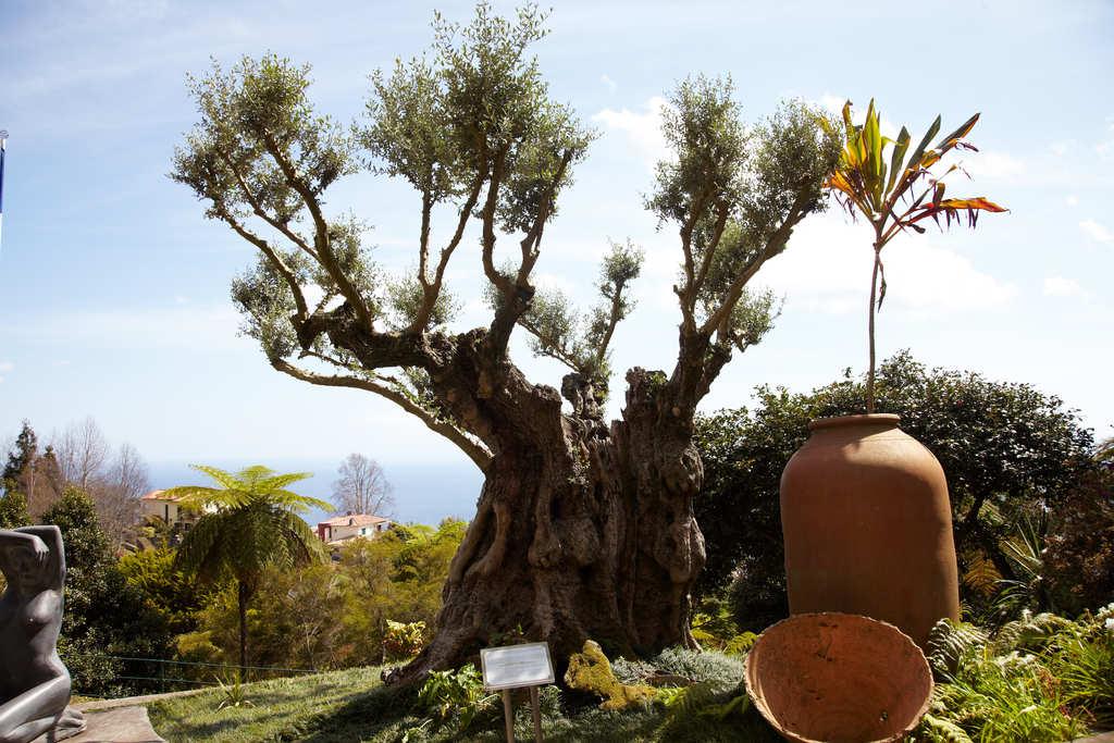 Funchal - olivera mil·lenària al jardí tropical